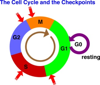 cell-cycle.jpg